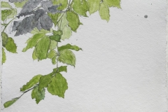 laurie-steen_young beech tree @ 1:1 scale, drawing 09-12