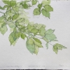 laurie-steen_young beech tree @ 1:1 scale, drawing 12-12
