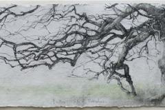 Laurie-Steen_father-oak-fursdon-drawing-20-09.jpeg
